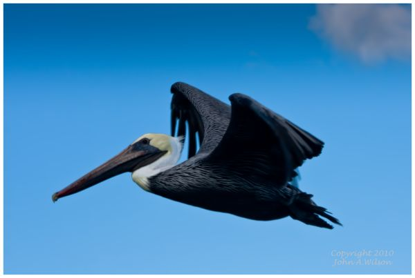 Pelican over the the Indian River, Brevard County
