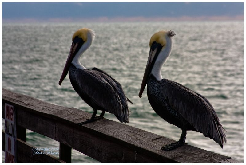 Pelicans on Cocoa Beah Pier