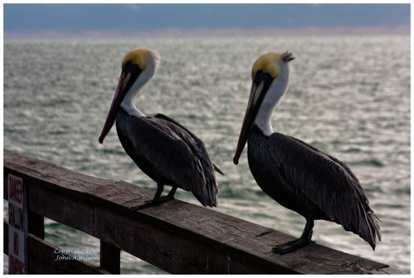 Pelicans on Cocoa Beah Pier