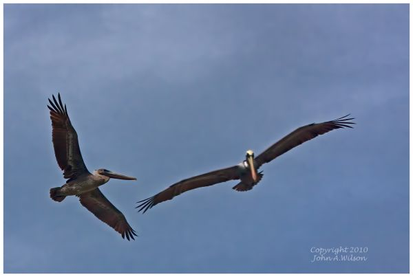 Pelicans above Cape Canaveral