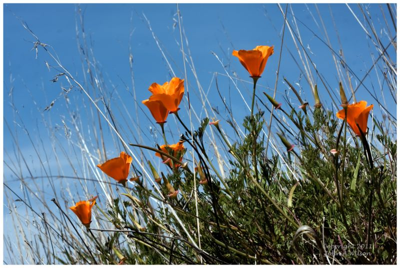 California Poppies, Santa Anna Valley