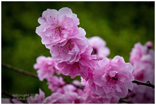 San Benito Cherry Blossoms