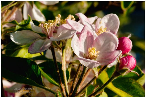 Apple Blossoms in Early Morning Light