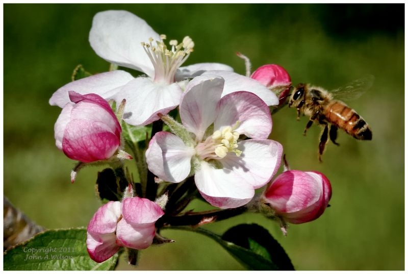 Bee in Apple Blossoms
