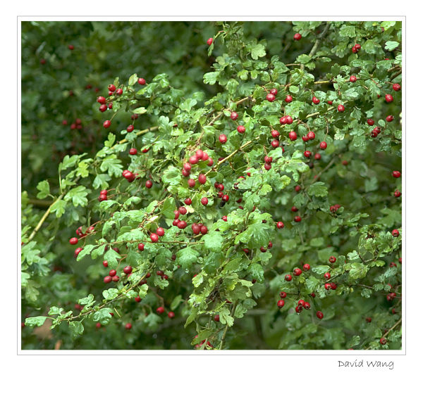 Red Berry 2