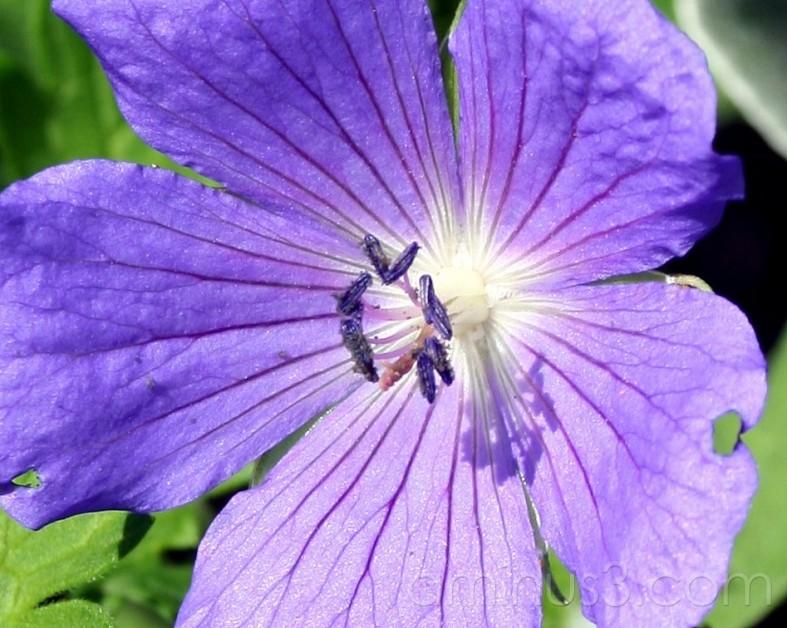 Non-Eden Lilac
