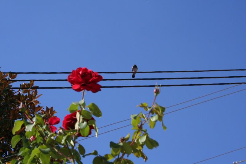 Leiria, rosa