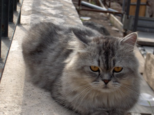 Cat, Romam Forum