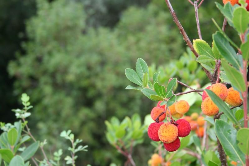 leiria medronho fruto