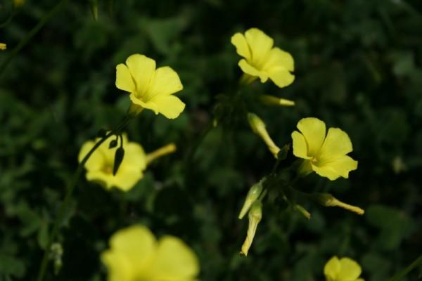 Flores, azedas, Primavera