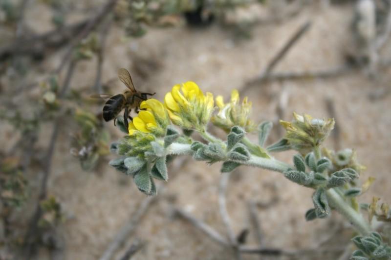 oldbeach insecto flor praia  abelha