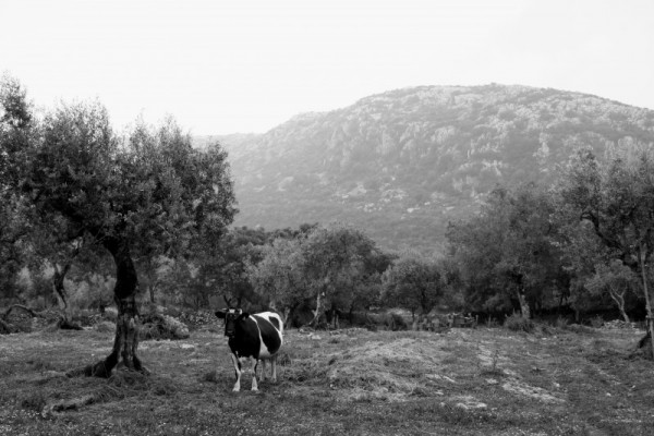 vaca PNSAC