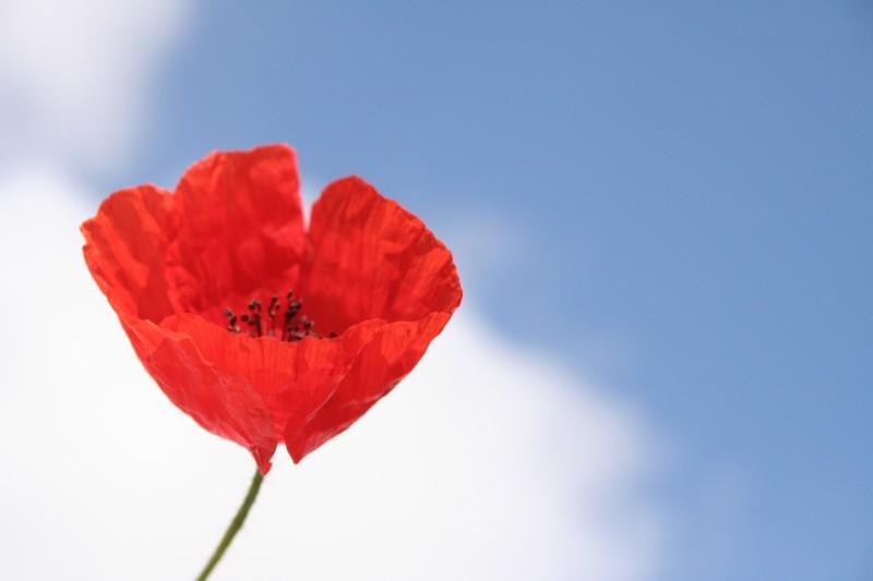 Papoilas VII - Poppies VII