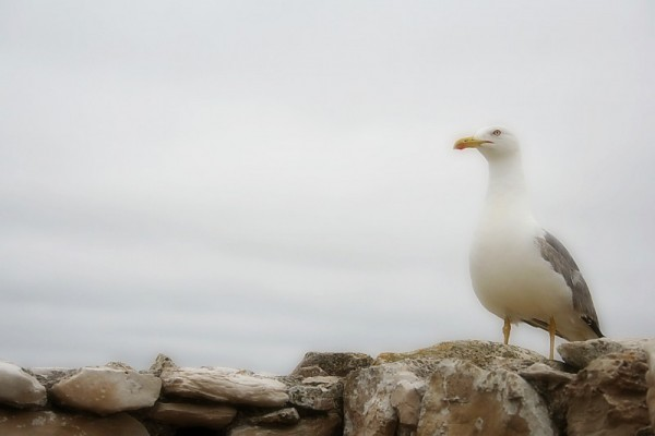 Gaivota - Seagull