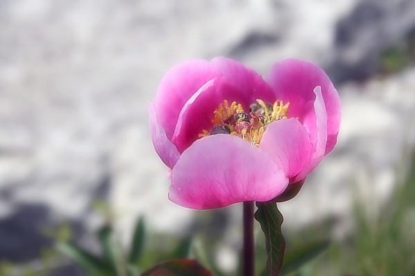 rosa-albardeira rosa flor