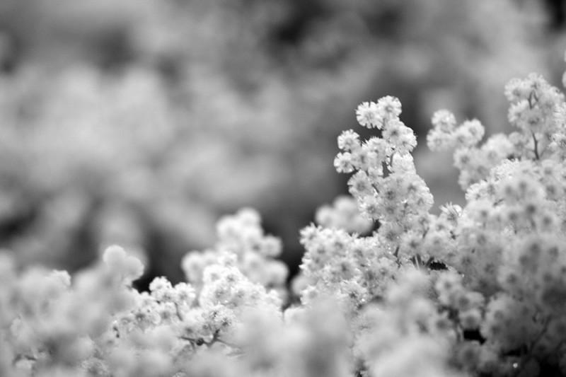 acacia flor