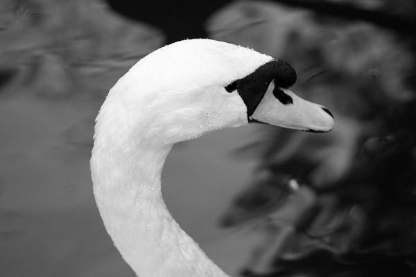 Cisne III