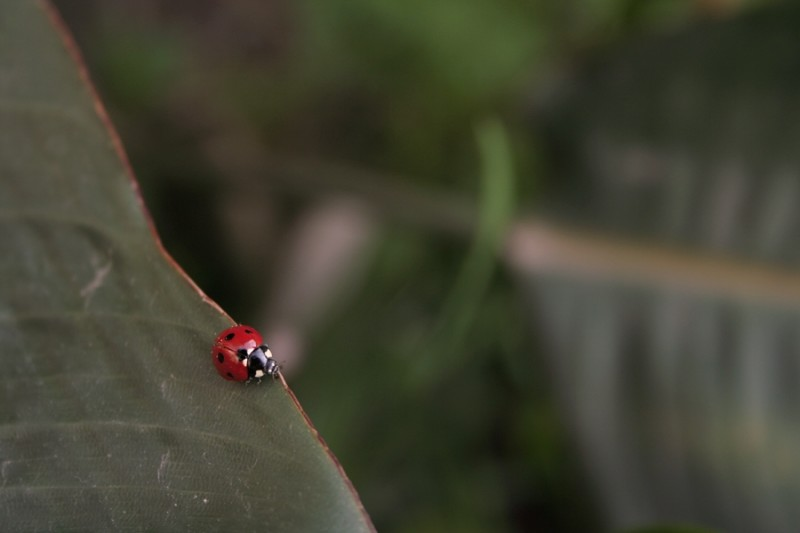 joaninha insecto Coleoptera