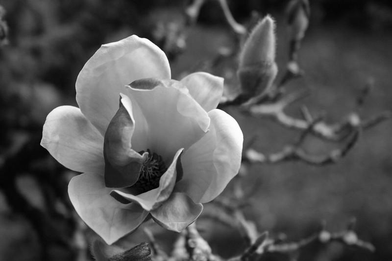 magnolia flor coimbra jardimbotanico