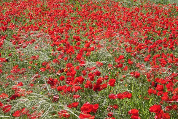 Poppy field I
