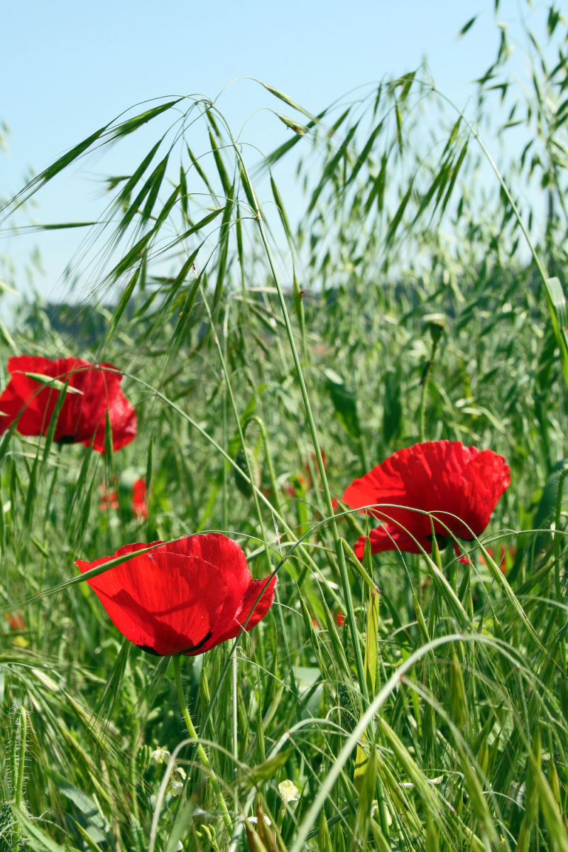 Poppy field III