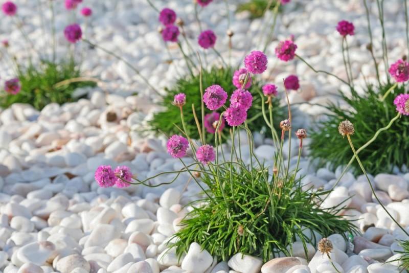flor armeria