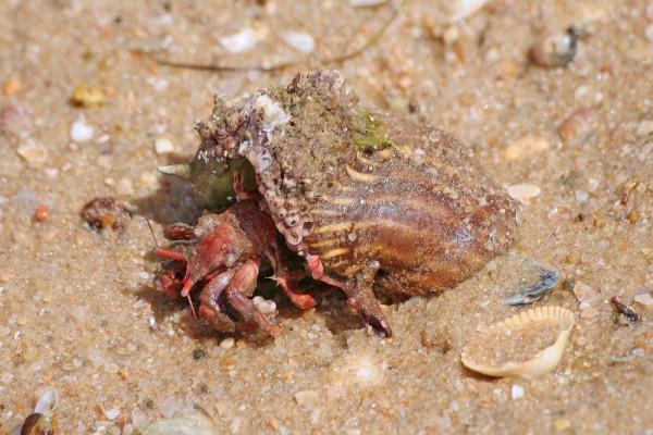 Caranguejo-eremita - Hermit crab