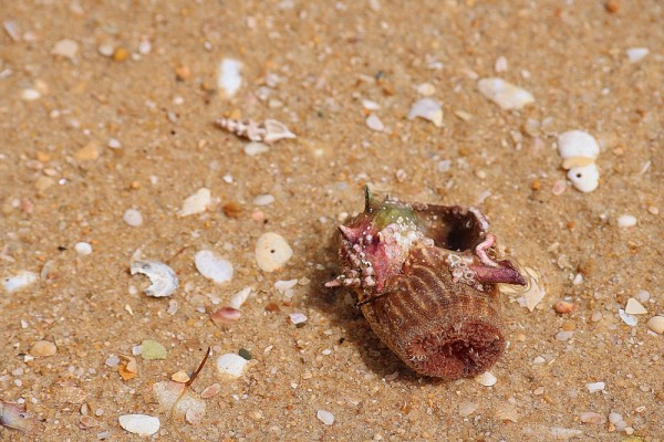 praia mar caranguejo-eremita algarve