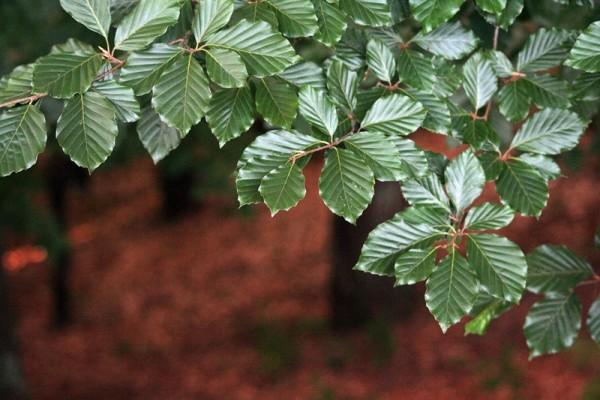 peneda-gerês árvore, folhas, faia