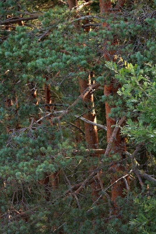 peneda-gerês pinheiro