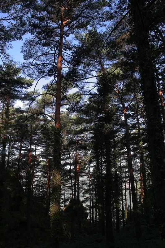 Floresta de pinheiro-da-casquinha - Gerês Series 7
