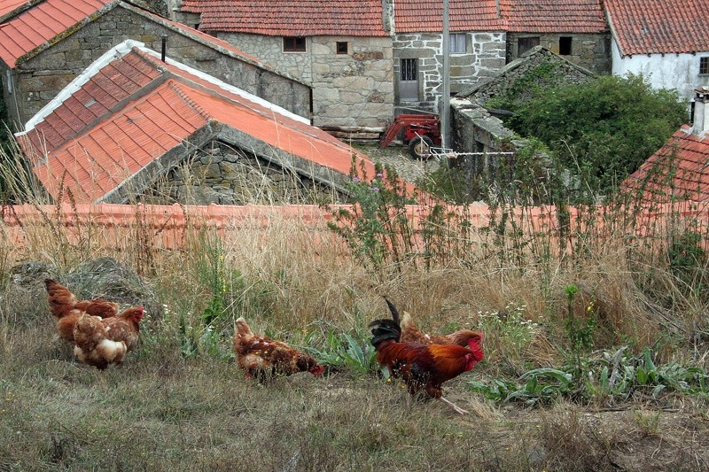 peneda-gerês galinhas