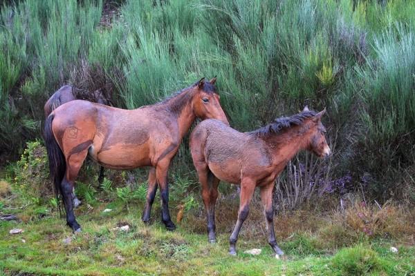 cavalo peneda-gerês garrano