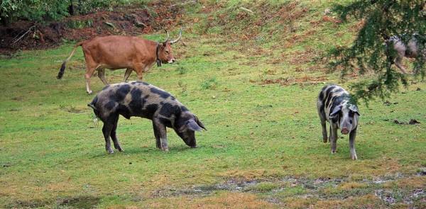 Vaca barrosã e... porcos!