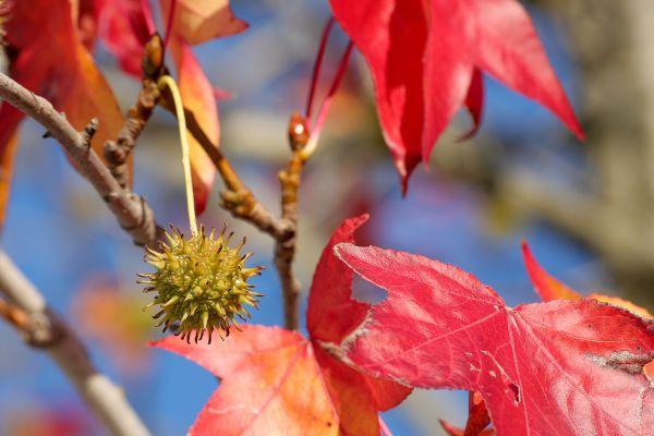 folhas outono fruto