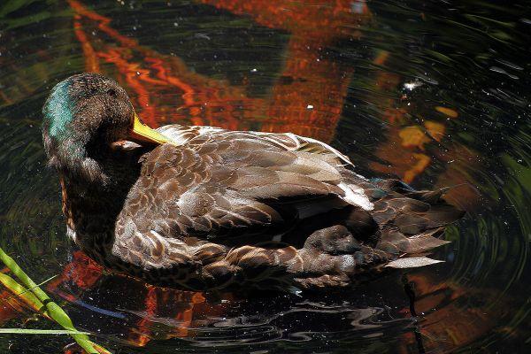 sintra patoreal quintadaregaleira patos