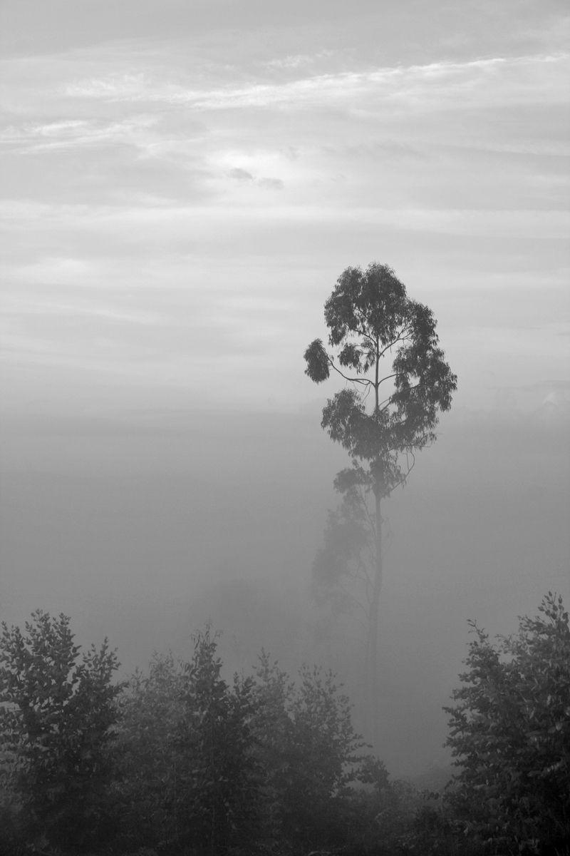 outono árvore bw nevoeiro leiria eucalipto