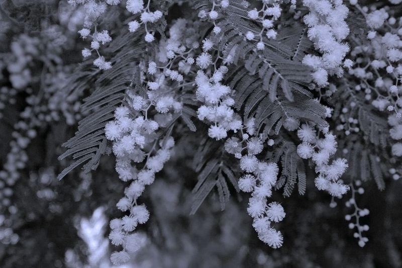 acácia leiria flor