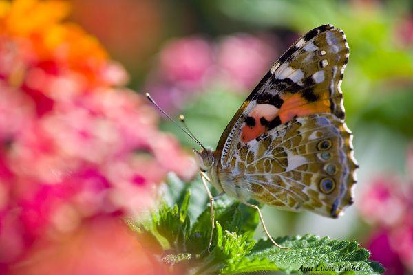 borboleta bela-dama