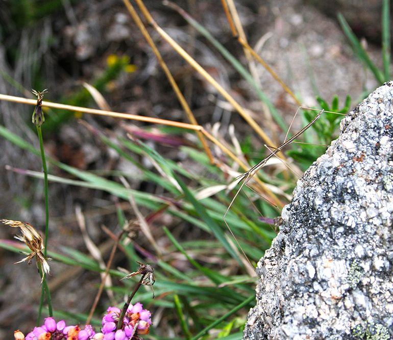 peneda-gerês insecto-pau fasmídeo