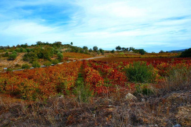 autumn outono vineyard vinhas