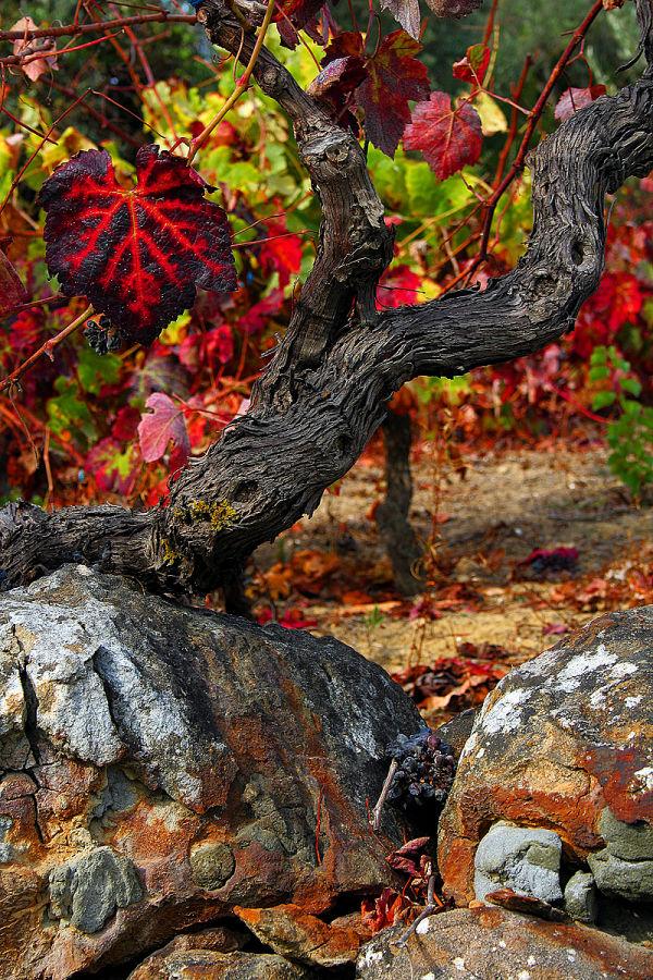 outono vineyard vinhas fruto