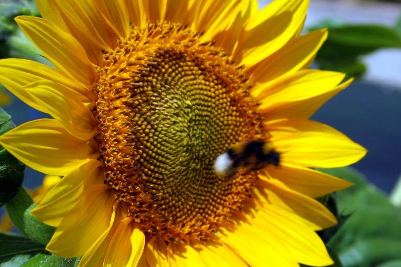 flor girassol abelha