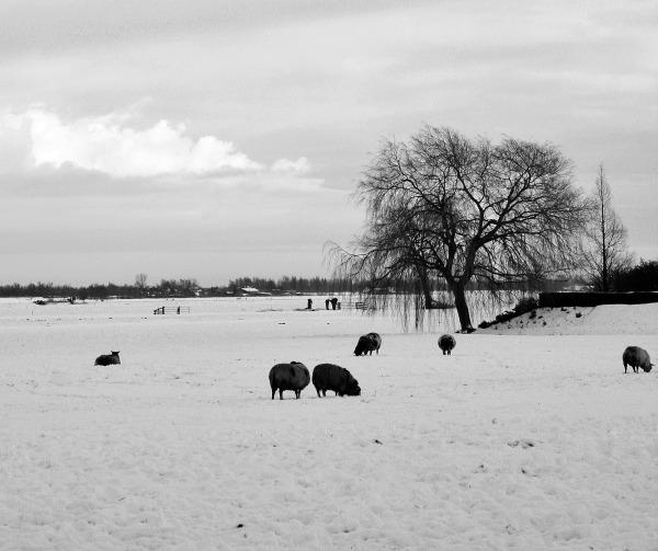ameide holanda neve sunrise inverno ovelha