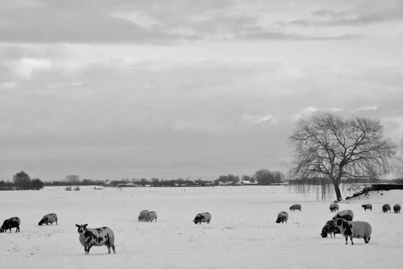 ameide holanda neve ovelha inverno