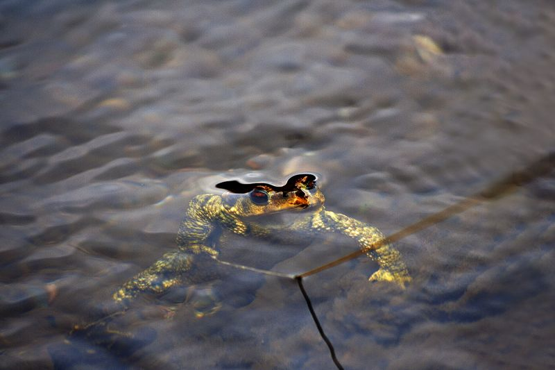 dourointernacional sapo rio anfíbio