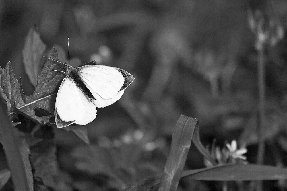dourointernacional borboleta