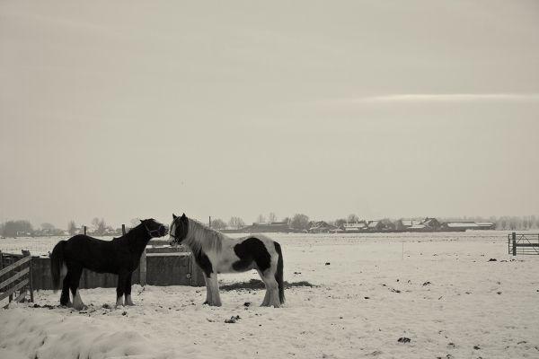 holanda ameide inverno neve cavalo