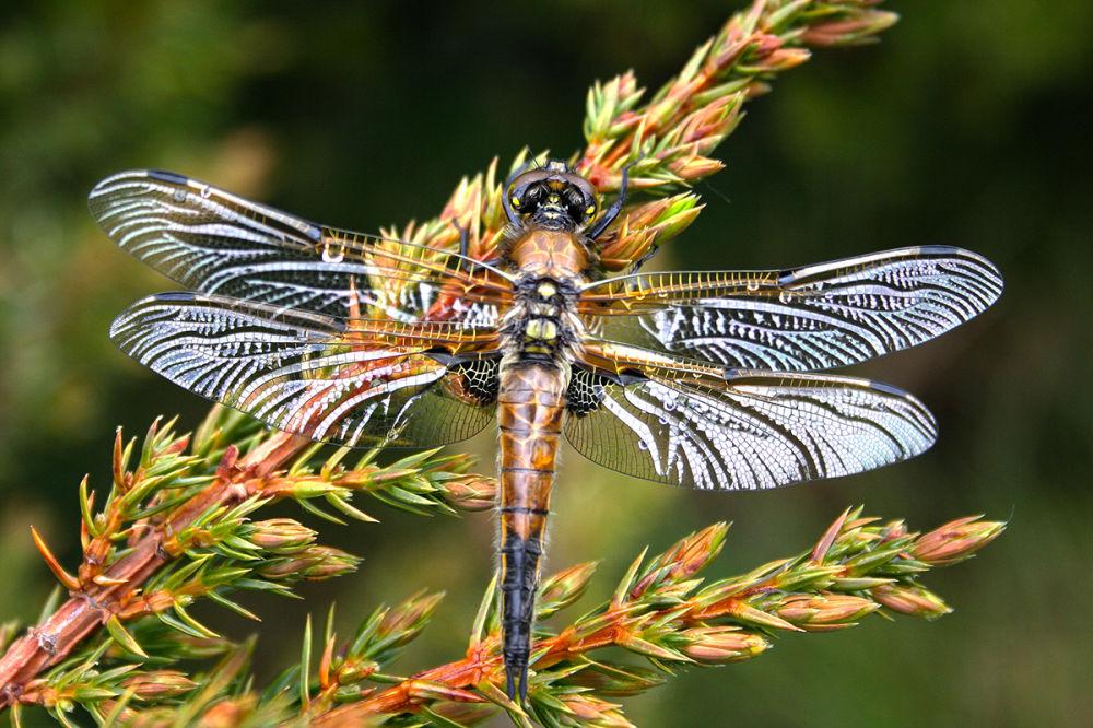 serraestrela libélula salgadeiras