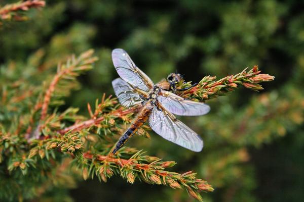 libélula serraestrela